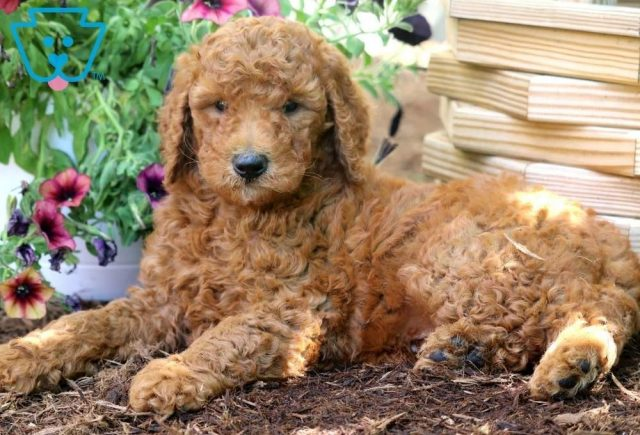 Sal-Poodle-Standard-Non-Sporting-AKC-Dog-Breed