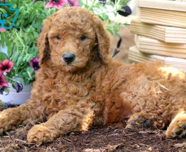 Poodle - Standard Puppies For Sale | Puppy Adoption | Keystone Puppies