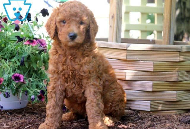 Sal2-Poodle-Standard-Non-Sporting-AKC-Dog-Breed