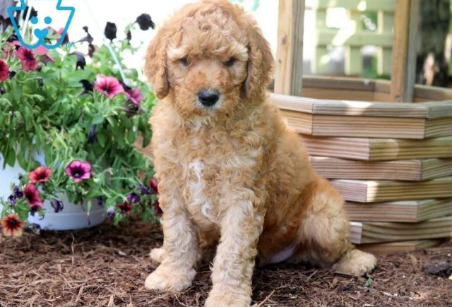 Scar-Poodle-Standard-Non-Sporting-AKC-Dog-Breed