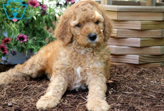 Scar2-Poodle-Standard-Non-Sporting-AKC-Dog-Breed
