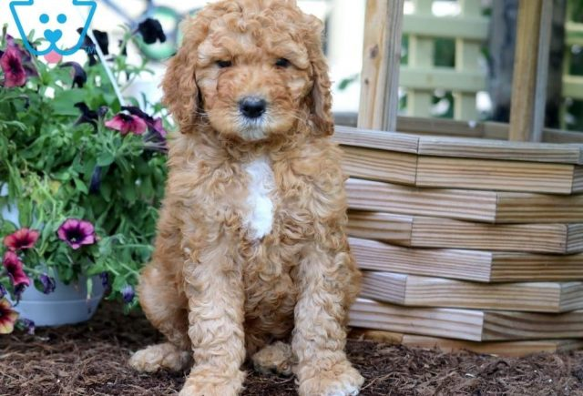 Spike2-Poodle-Standard-Non-Sporting-AKC-Dog-Breed