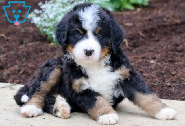 Stan2-Bernese-Mountain-Dog-Working-Dog-AKC