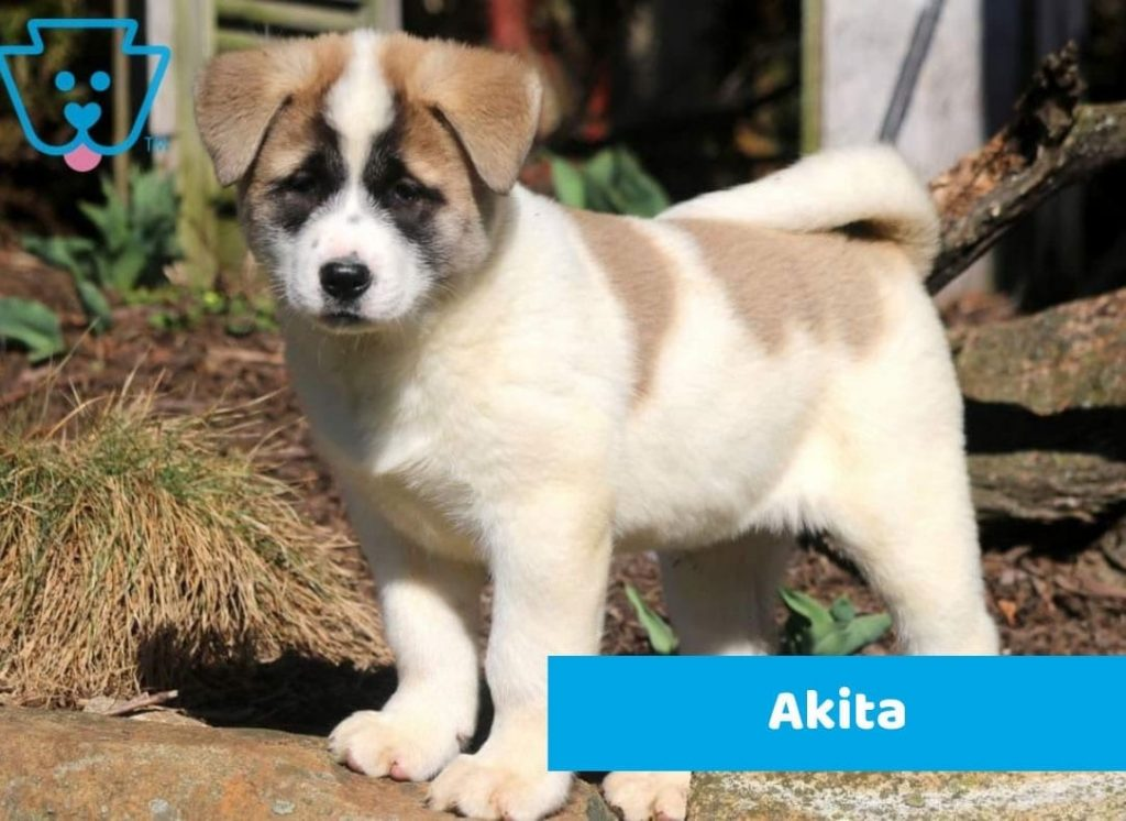 Rare Akita puppy for sale in PA