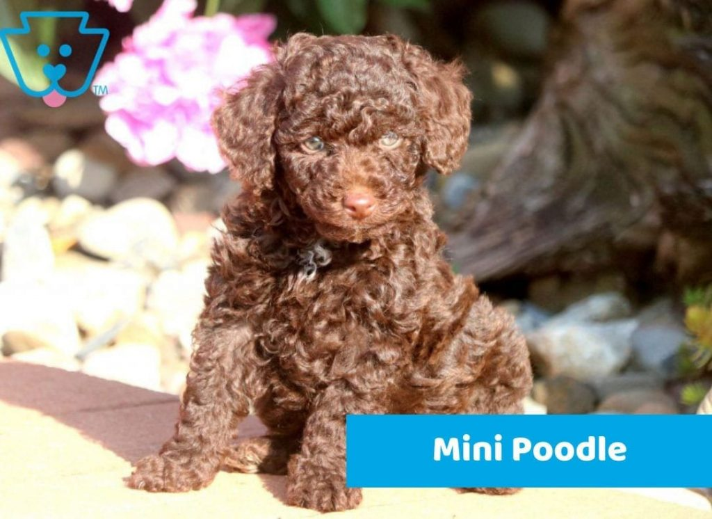 Brown Mini Poodle puppy