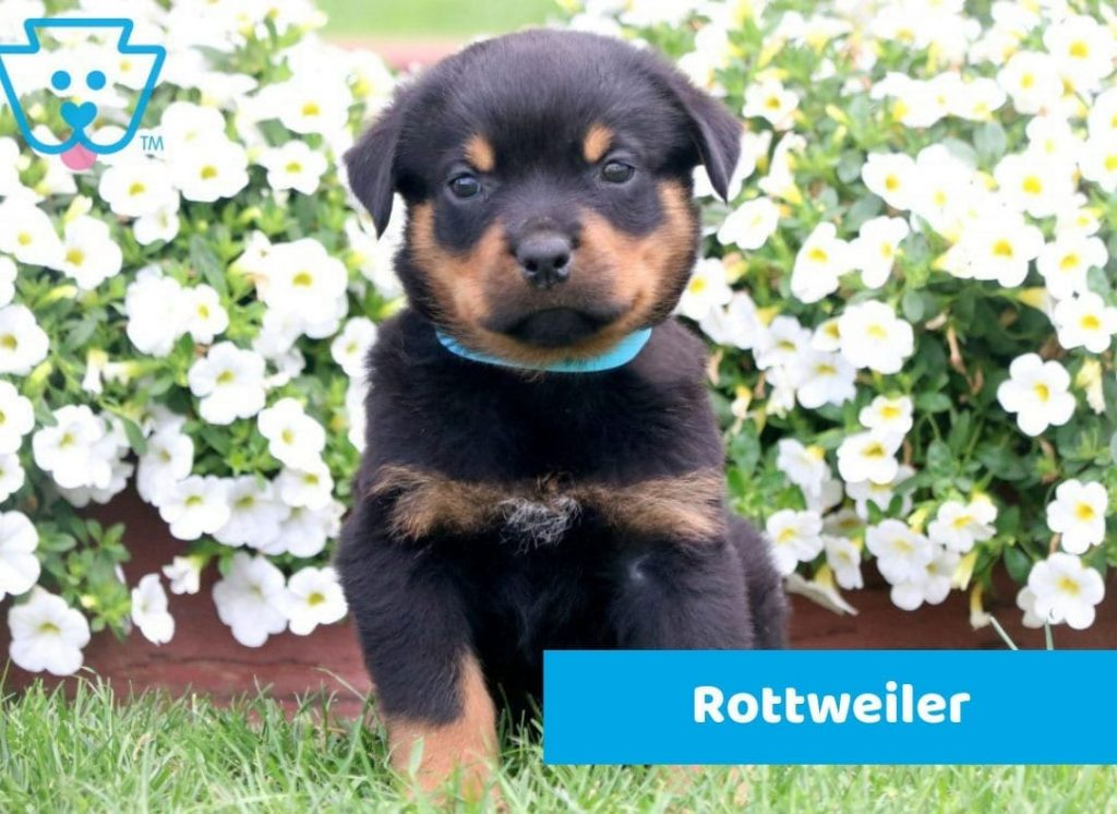 Gentle Rottweiler puppy for sale in PA