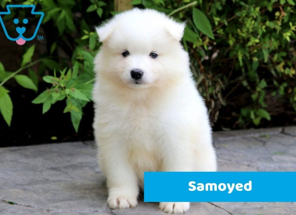 Samoyed puppy for sale in PA