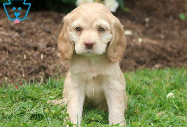 Abby-Cocker-Spaniel-Sporting-Dog-Breed-AKC