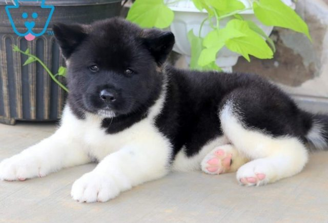 Bandit-Akita-Breed-Working-Dog-AKC