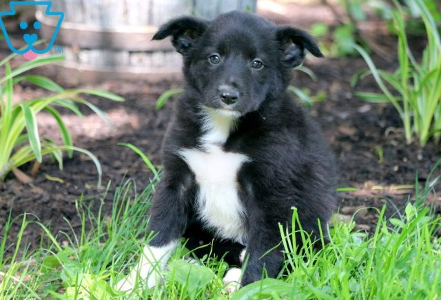 Bell Border Collie 2
