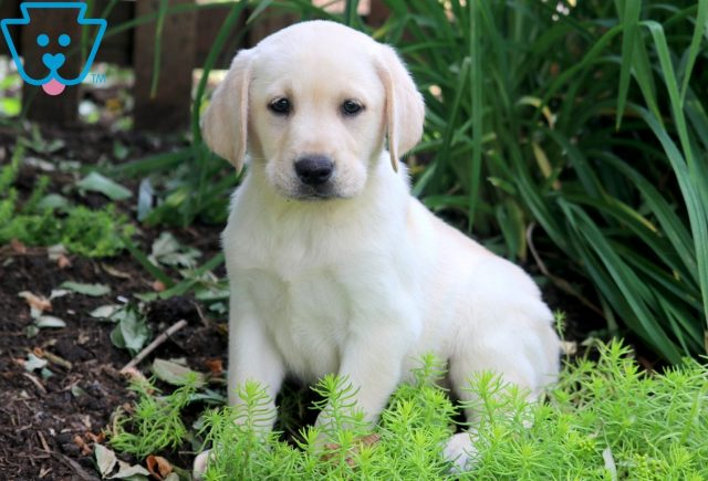 Blue Yellow Lab 1