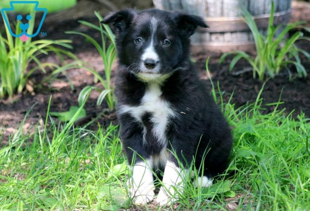 Bo Border Collie 1