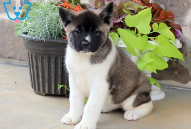 Bubble-Akita-Breed-Working-Dog-AKC