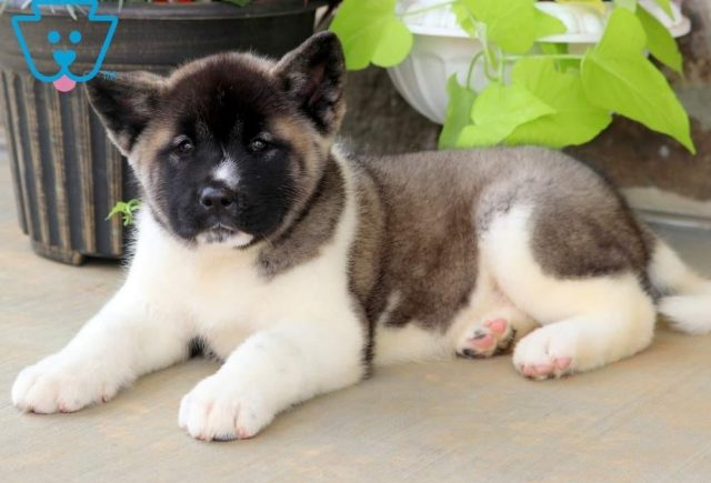 Bubble2-Akita-Breed-Working-Dog-AKC