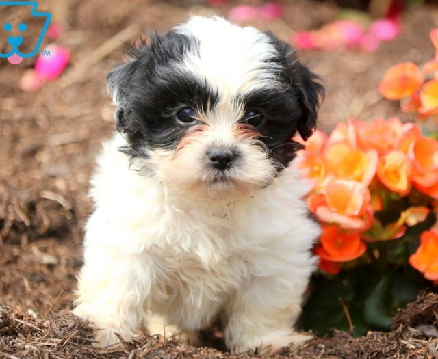 Shichon Teddy Bear Puppies For Sale Puppy Adoption