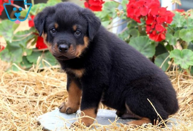 Chance2-Rottweiler-Working-Breed-Dog-AKC