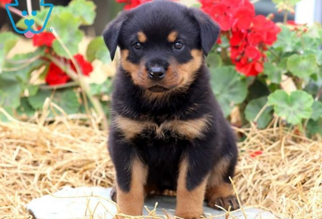 Cuddles-Rottweiler-Working-Breed-Dog-AKC