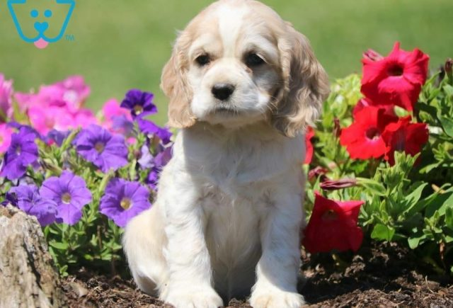 Dalilah-Cocker-Spaniel-Sporting-Dog-Breed-AKC