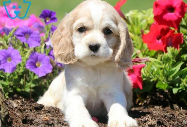 Dalilah2-Cocker-Spaniel-Sporting-Dog-Breed-AKC