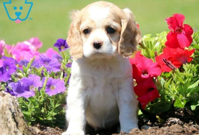 Dee-Cocker-Spaniel-Sporting-Dog-Breed-AKC