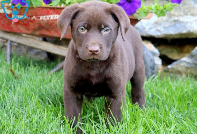 Devin Chocolate Lab 2