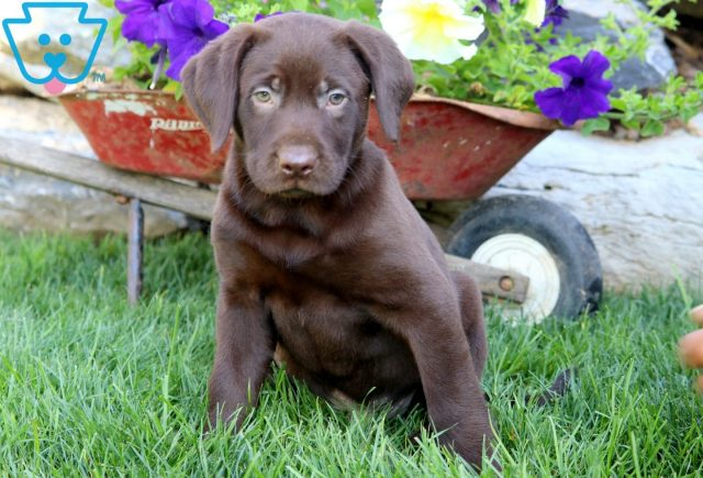 Domino Chocolate Lab 1