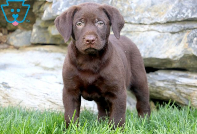 Domino Chocolate Lab 2
