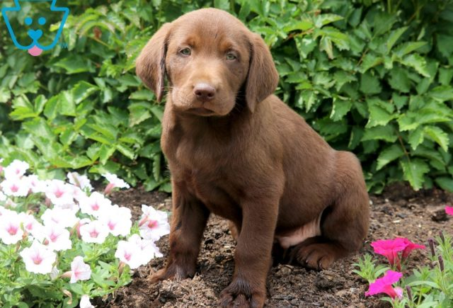 Grizzly Chocolate Lab 1