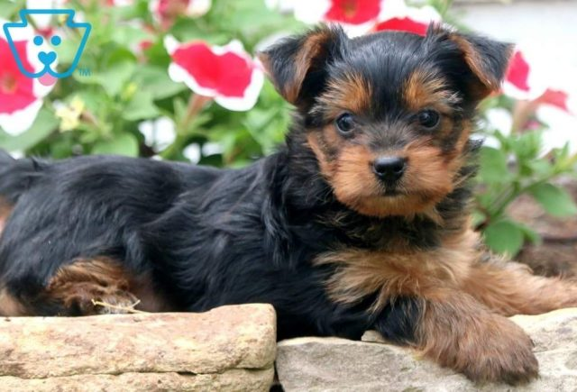 Hewie-Yorkshire-Terrier-Dog-Breed-AKC