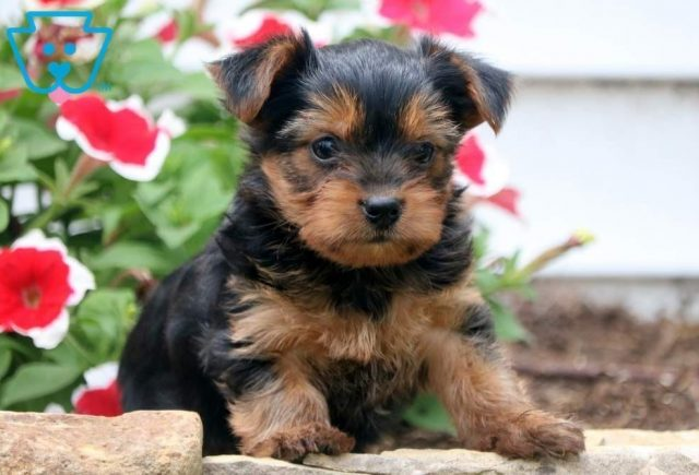Hewie2-Yorkshire-Terrier-Dog-Breed-AKC