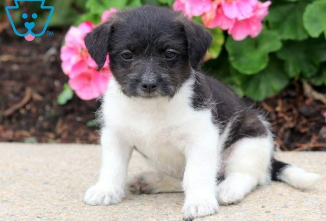 Hope-Chihuahua-Mixed-Breed-Dog
