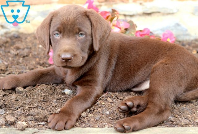 Jody Chocolate Lab 2