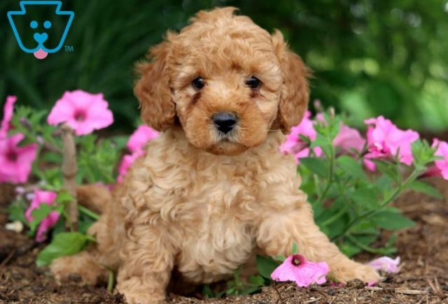 Landon-Toy-Labradoodle-Designer-Breed-Dog-ACHC-IDCR-ICA