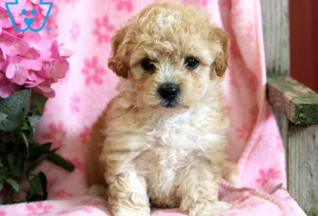 Lassy-Poodle-Mixed-Breed-Dog