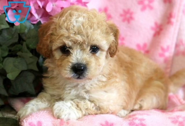 Lassy2-Poodle-Mixed-Breed-Dog