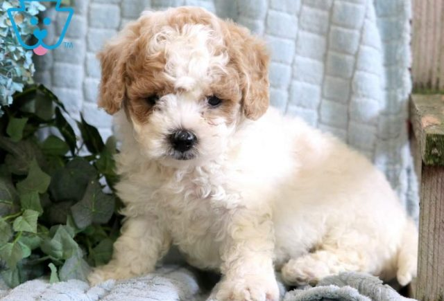 Leo-Poodle-Mixed-Breed-Dog