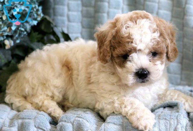 Leo2-Poodle-Mixed-Breed-Dog