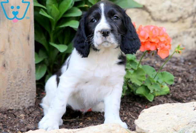 Love English Springer Spaniel 1