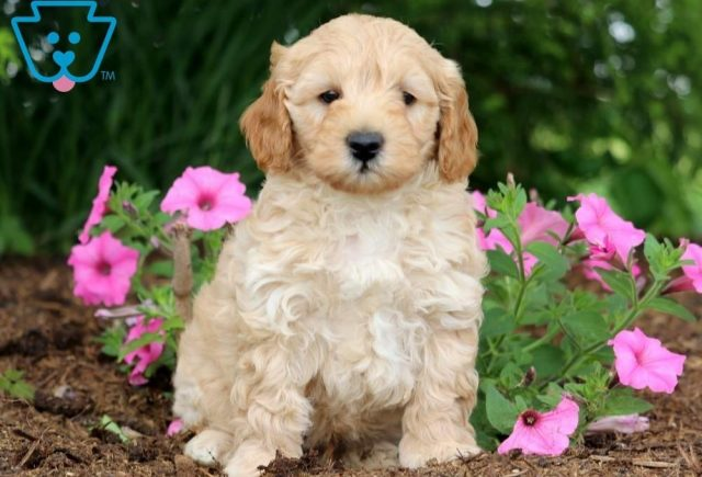 Luke-Toy-Labradoodle-Designer-Breed-Dog-ACHC-IDCR-ICA