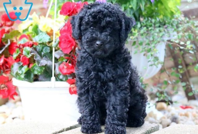 Mango-Miniature-Poodle-Non-Sporting-AKC-Dog-Breed
