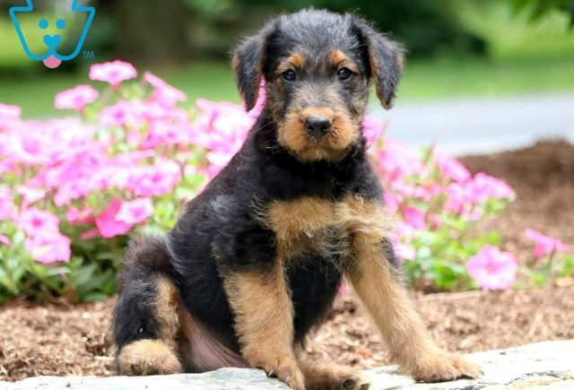 Marco-Airdale-Terrier-Breed-Dog-AKC