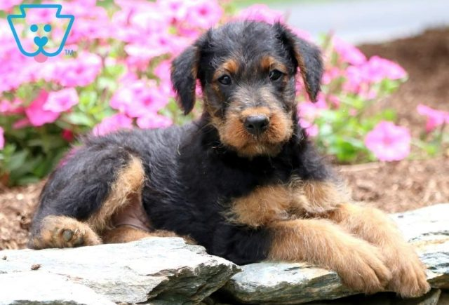 Marco2-Airdale-Terrier-Breed-Dog-AKC