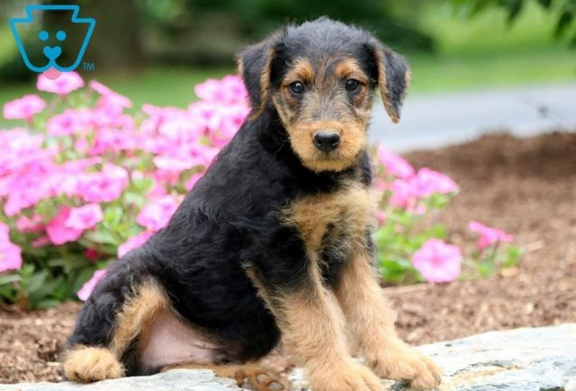 Mel2-Airdale-Terrier-Breed-Dog-AKC