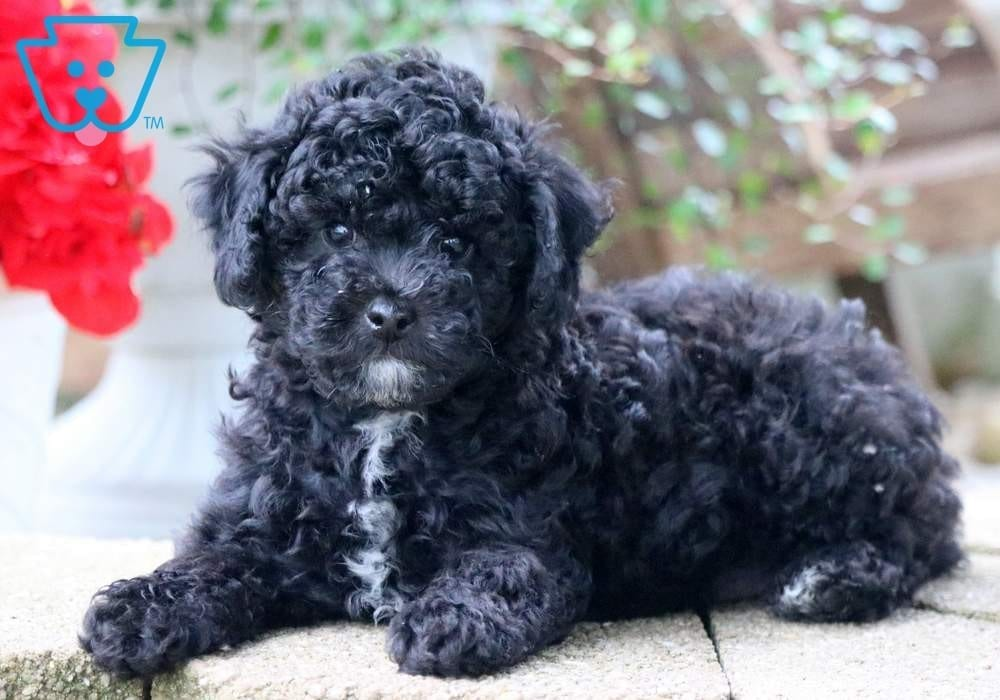 Miles | Poodle - Toy Puppy For Sale | Keystone Puppies