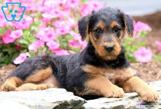 Mindy-Airdale-Terrier-Breed-Dog-AKC