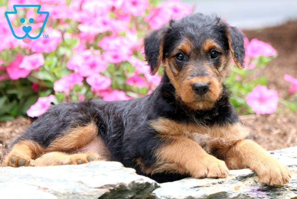 Mindy | Airedale Terrier Puppy For Sale | Keystone Puppies