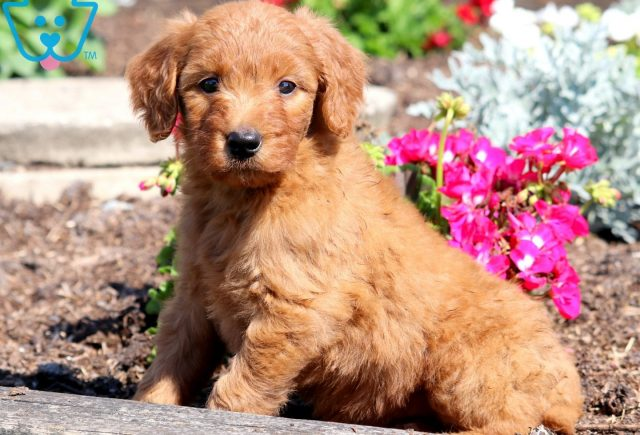 Paris Goldendoodle 2