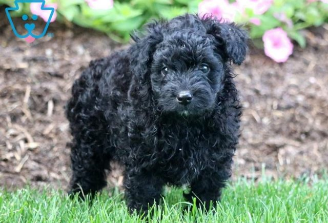 Paws-Poodle-Mixed-Breed-Dog