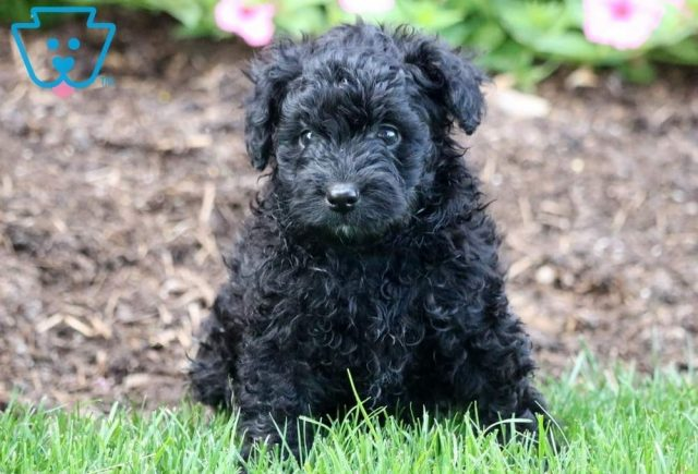 Paws2-Poodle-Mixed-Breed-Dog