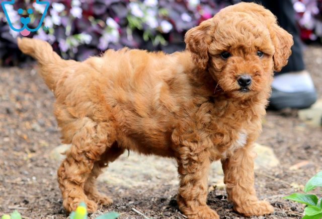Peanut Toy Goldendoodle 1